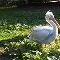 Pelikán, pražská zoo