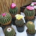 Výstava kaktusů. - Brno.