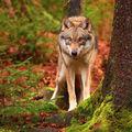 Vlk ..