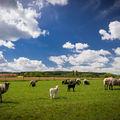 Ovce na louce ve Skočicích u Přeštic