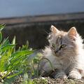 Felis gardenalis
