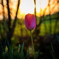 Tulipán v západu slunce
