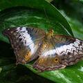 motýľ-krásavec z Fata Morgany