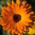 Pestrobarevná květina