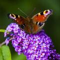 Paví oko - momentka z botanické zahrady