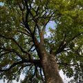 Až opadá dub