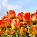 Tulipán Banja Luka