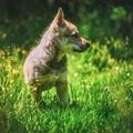 Mladý vlk
