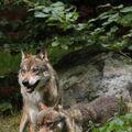 Vlci v akci