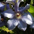 Pnoucí nádherná květina, - Clemátis.