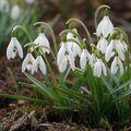 sněženky jarní pozdrav
