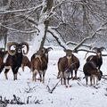Mufloni v zimě