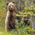 ...maly grizzly ukaze se...