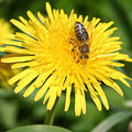 Včela plná medu