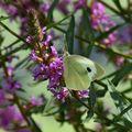 Bílý motýl na fialovém květu