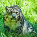 Levhart sněžný (Panthera uncia)