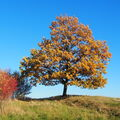 DUB slovenský -  Quercus cerris - dub cer