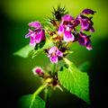 bukvice lékařská  Betonica officinalis L.