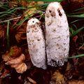 Heboučké podzimní hnojníky