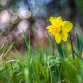 Narcis divoký