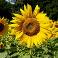 Sunflower greeting  . . .