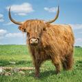 Kráva s ofinou :)