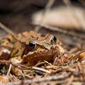 Žabí kamufláž