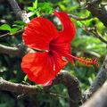 Červená kráska