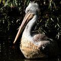 Portrét pelikána