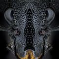 Mrchožrout Černý