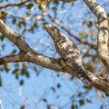 Hledej ptáčka ! (Potu velký, Nyctibius grandis)