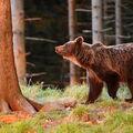 Medvěd v západu slunce