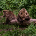 Medvědí pikola
