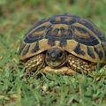 Želva zelenavá  (wild)