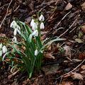 Jarní sněženky