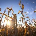 Kukuřičké pole