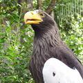 Orel východní nádherný a majestátní i v zajetí.