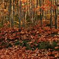 ...v červenodubovém lese.....