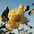 Růže babího léta
