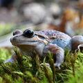 Žabka pestrá