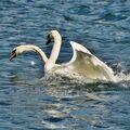 Labuť dvouhlavá