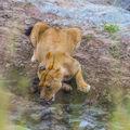 Žíznivá lvice