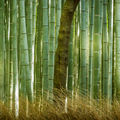 Lonely tree in a bamboo forest.