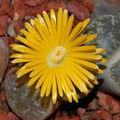 Krásný květ rostliny Lipthos, živé kameny.