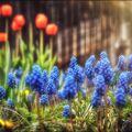 Modřence a tulipány