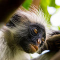Zanzibar red colobus detail