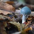 Modrá houba?
