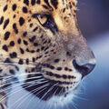 Levhart cejlonský (Panthera pardus kotiya)