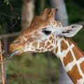 Žirafa při krmení