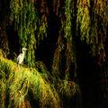 Volavka a vrba